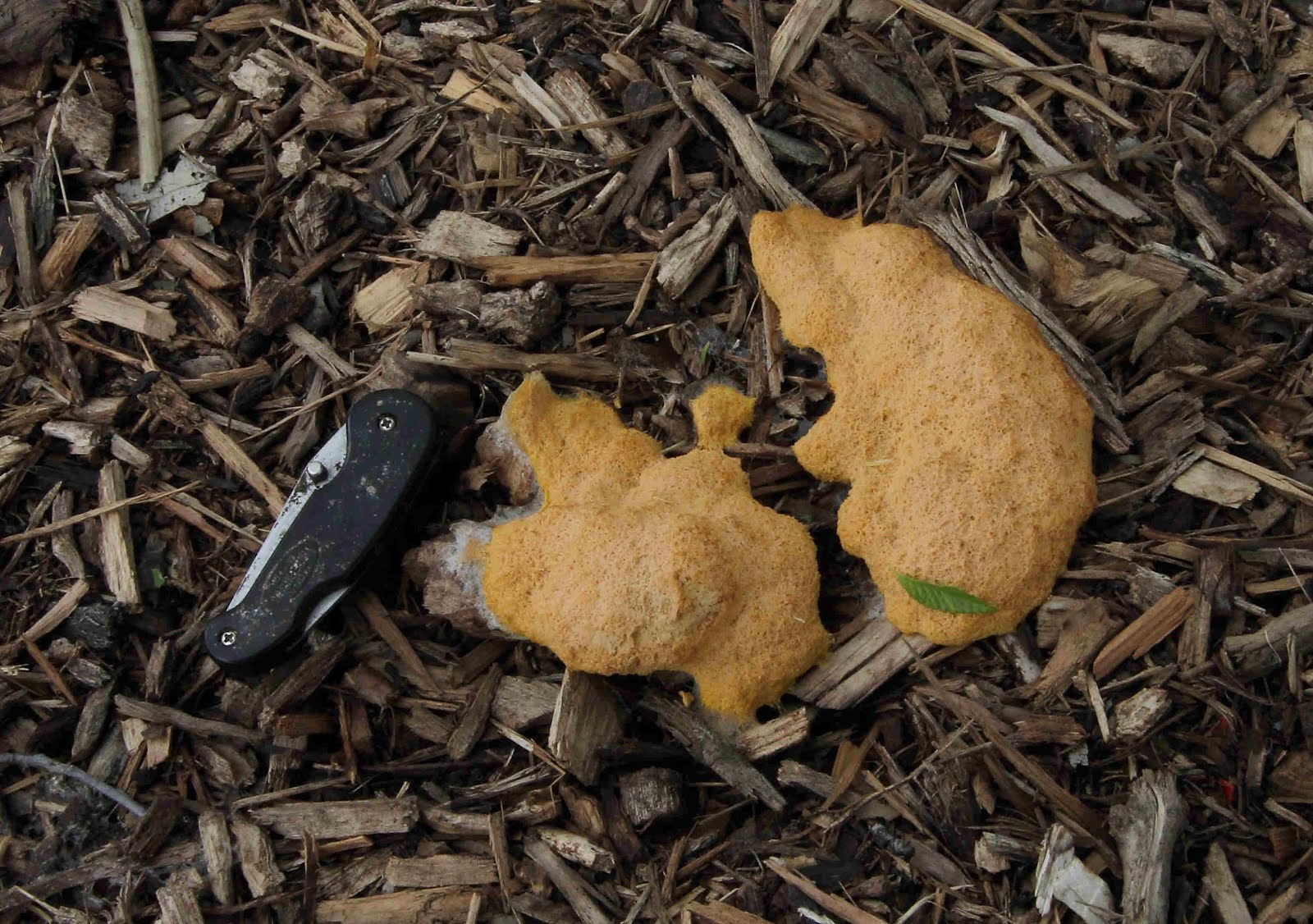 isolation and culture of slime molds Start studying microbiology chapter 12: the eukaryotes: fungi, algae, protozoa and slime molds learn vocabulary, terms, and more.