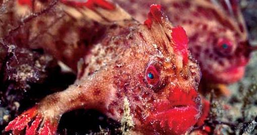 Handfish ikan bertangan terunik di dunia alam mentari for P o fish