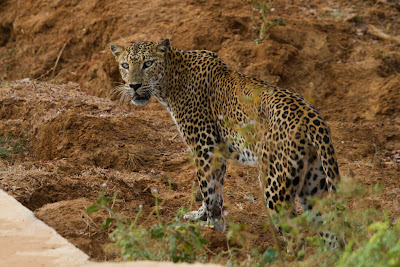 The Leopard comes up to the road- Yala, Sri Lanka