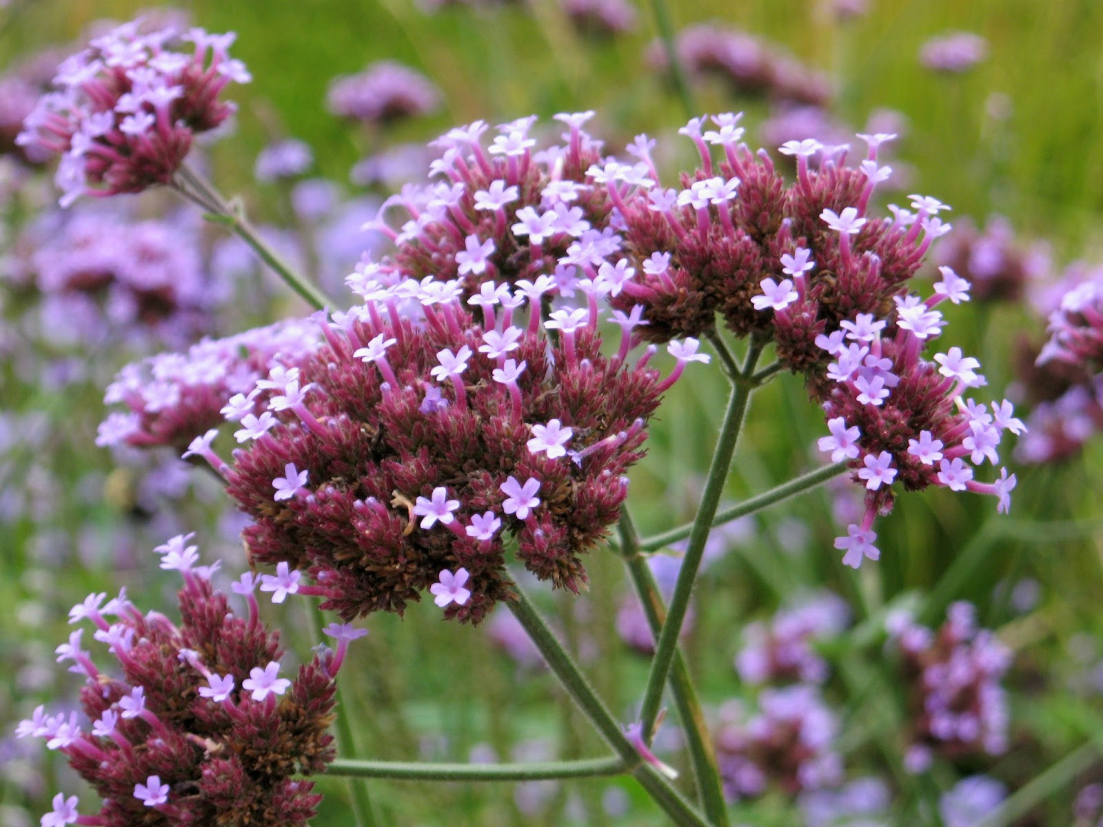 Good Witches Magickal Flowers And Herbs: Verbena Verbena Plant