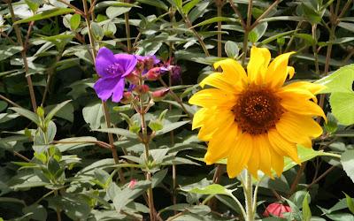 Beautiful Sunflower Widescreen Wallpaper 7