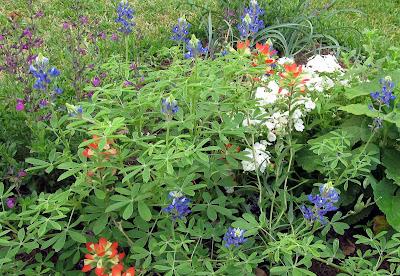 Annieinaustin,Texas paintbrush,bluebonnets,salvia greggii
