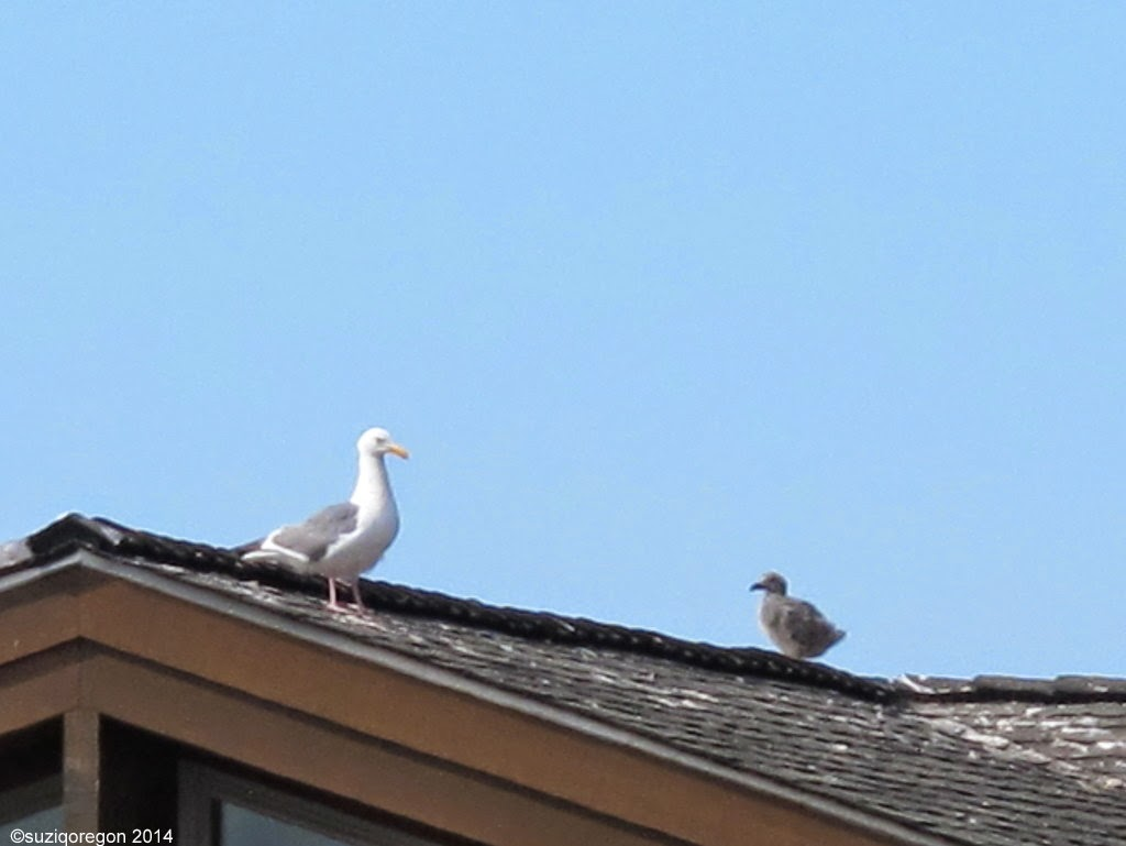 Seagull and baby