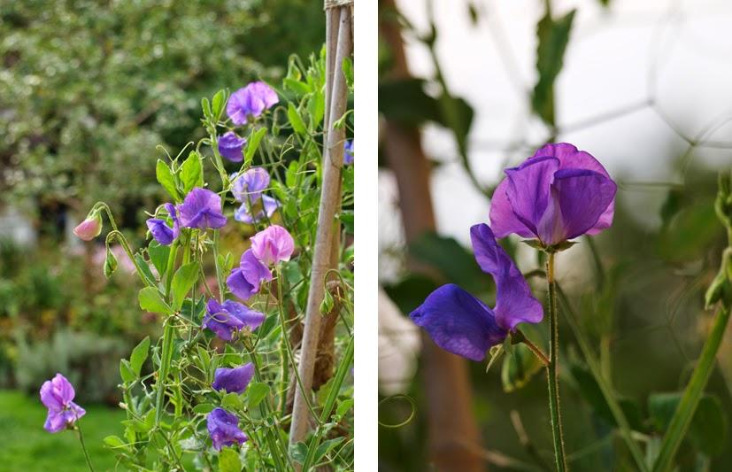 Smuk og velduftende sommerblomst i haven