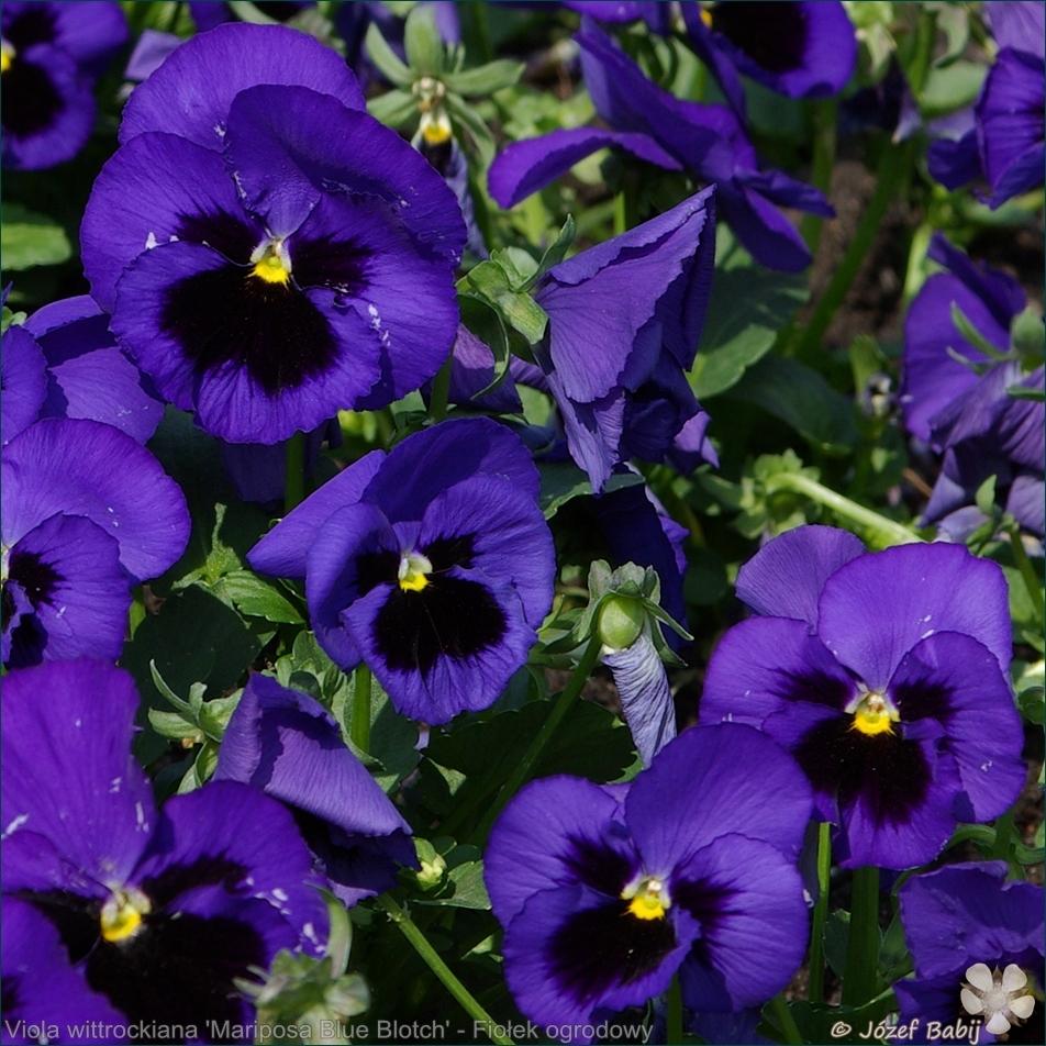 Viola wittrockiana 'Mariposa Blue Blotch' - Fiołek ogrodowy, bratek
