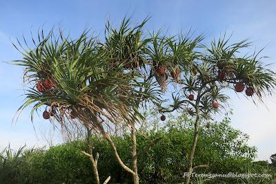 Pokok Mengkuang laut