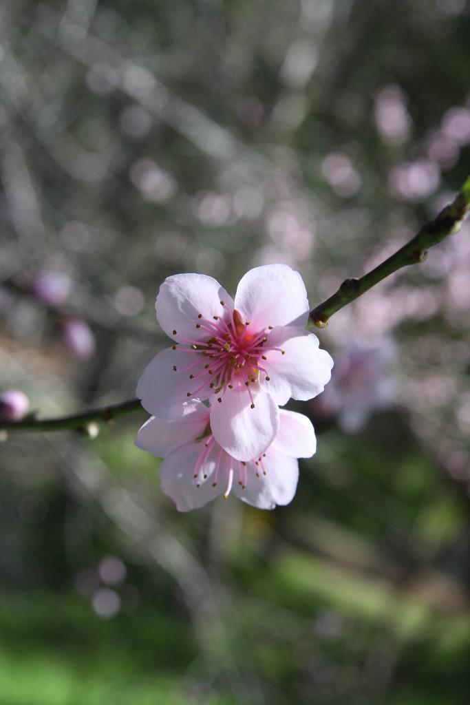 Flowers Land: Almond Blossom Flowers