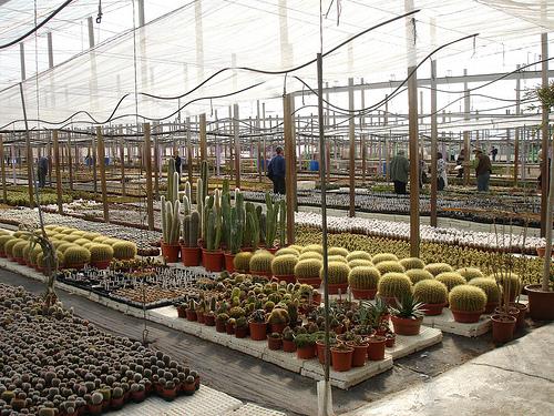cactus colindreses gran kedada el ejido viveros serrano 3