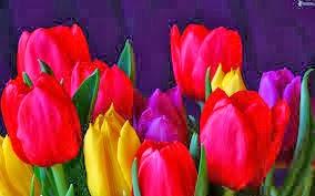 flores y plantas de interior, tulipanes