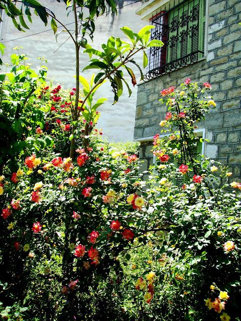 roses garden pink red orange