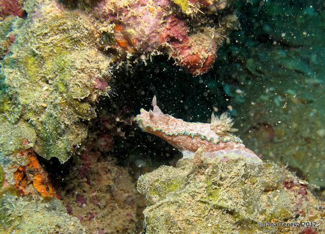 Nudibranches Underwater Similan