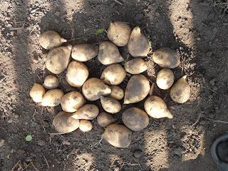 vkusniogorod – картофель Адретта