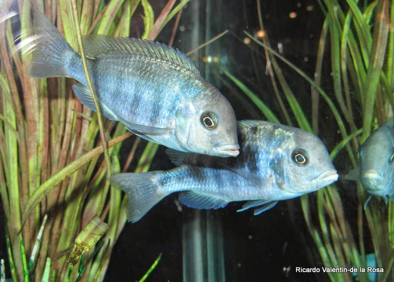 Ricardo 39 s blog blue moorii cichlid also known as blue for Blue fish dallas