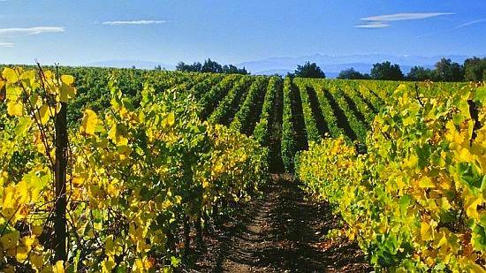 Ch�teau Rives-Blanques Vineyard