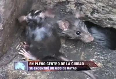 ratas en el temblor en arequpa 7 junio 2012