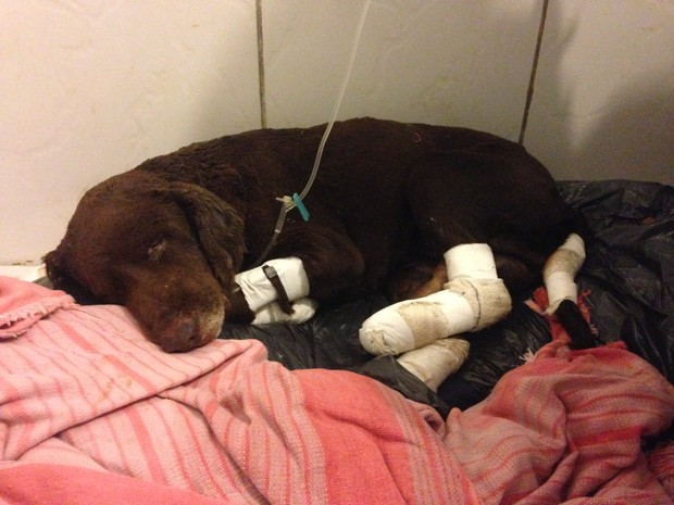 Cão queimado vivo ainda está internado para recuperaração (Foto: Tiago Guedes/RBS TV)