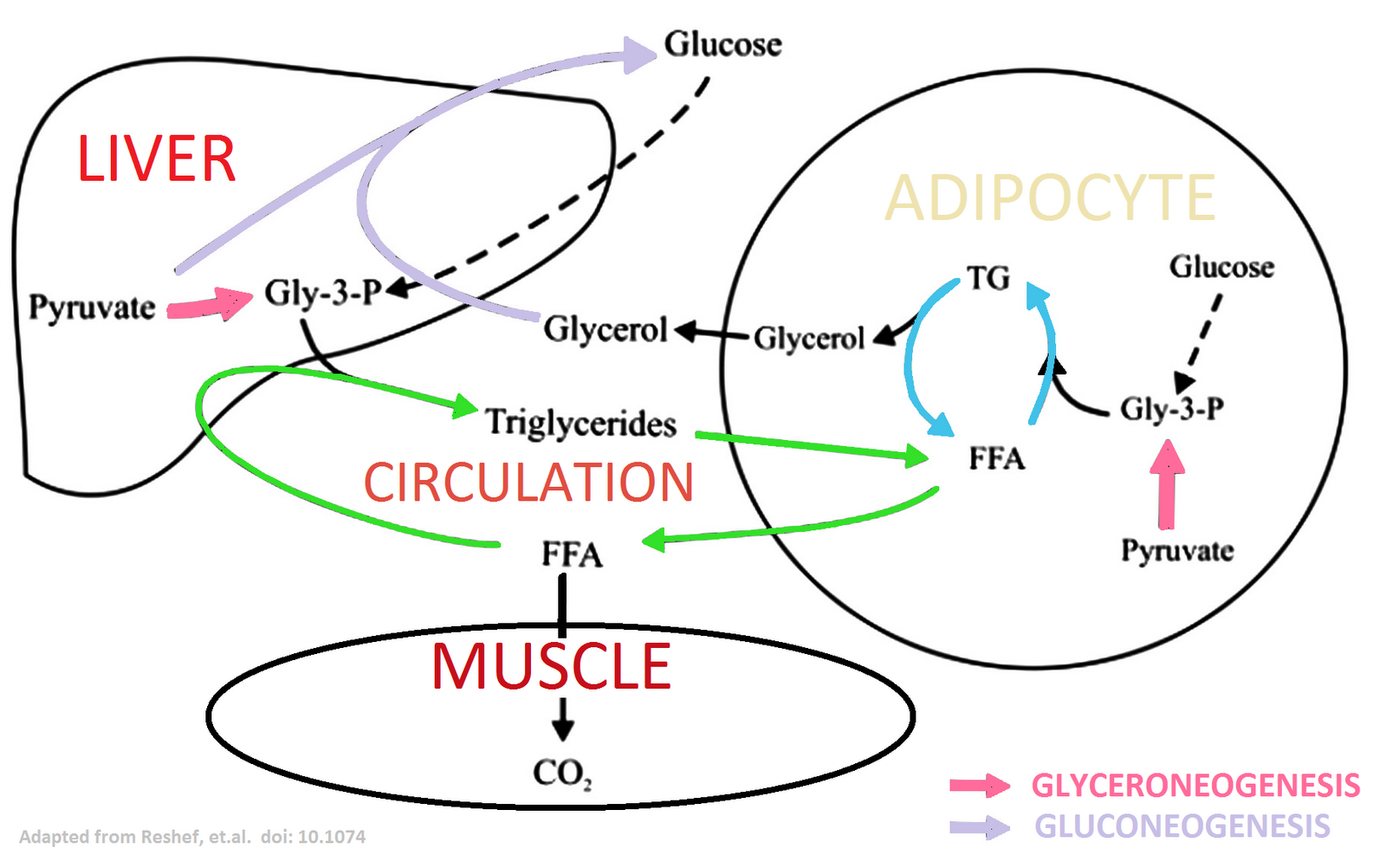 The carb sane asylum the triglyceridefatty acid cycles and the to this end below ive augmented the tagfa cycle diagram from the 2003 reshef et article referenced in gcbc pooptronica Gallery