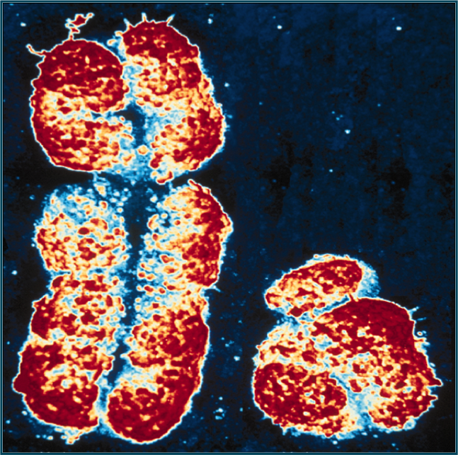 comparison of x chromosomes of bovidae animals and humans Percucatti et al explore the x chromosome of three bovidae farm animals in an endeavor to refine the river buffalo x chromosome (bbux) and domestic.