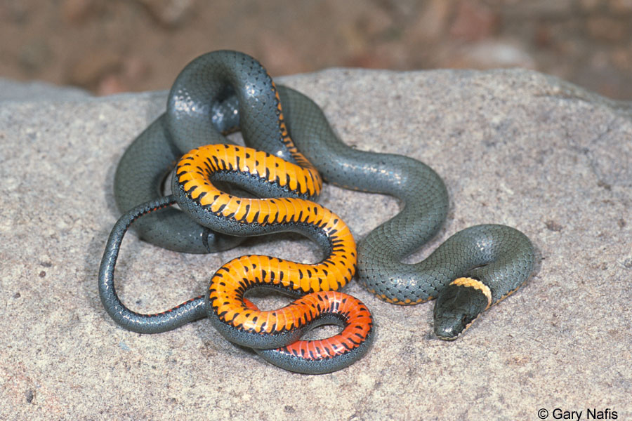 Ring Necked Snakes Found In California Facts Pod