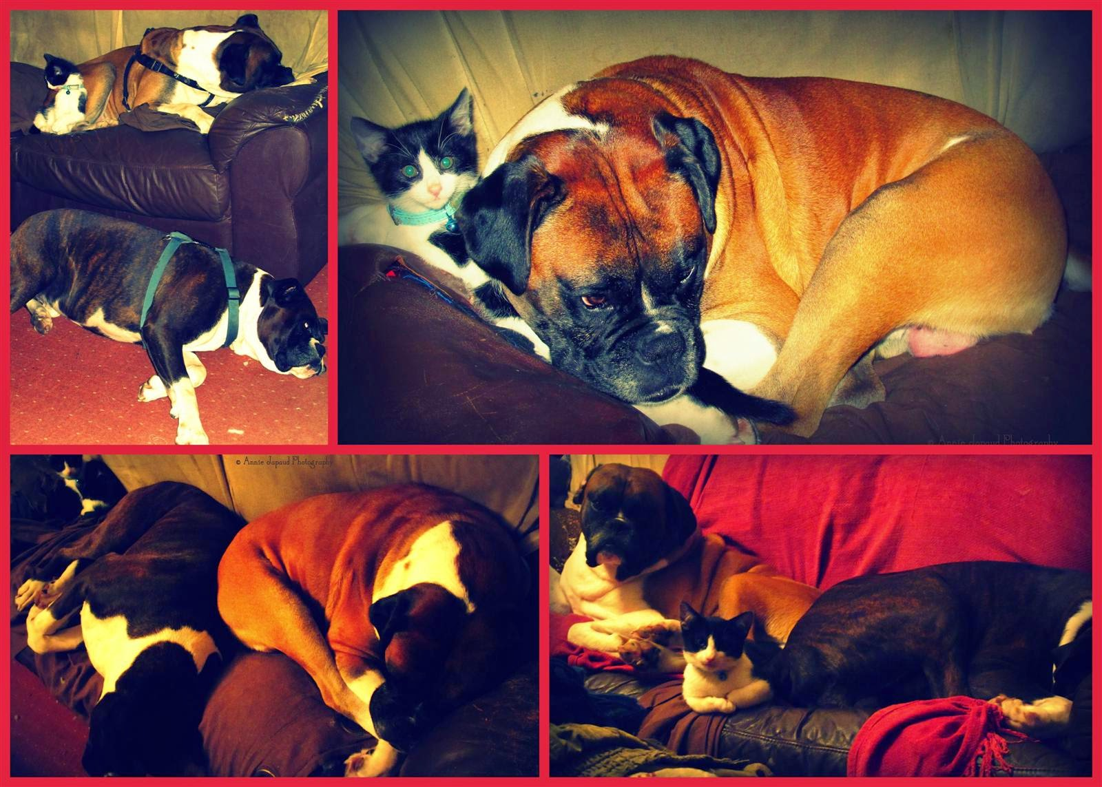collage of images, 2 boxer dogs and a kitten on a sofa, sleeping