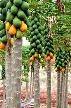 pepaya, buah pepaya, budidaya pepaya, manfaat pepaya, menanam pepaya, cara menanam pepaya, manfaat buah pepaya