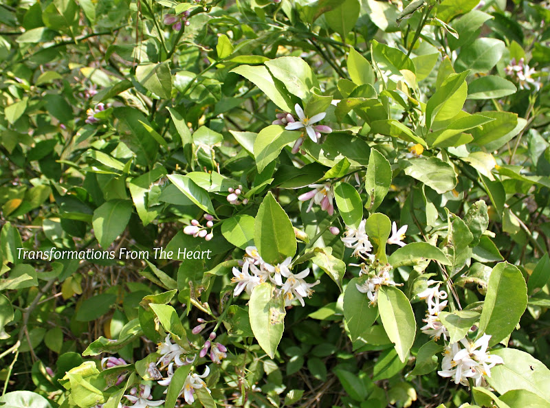 lemon trees with lots of blooms