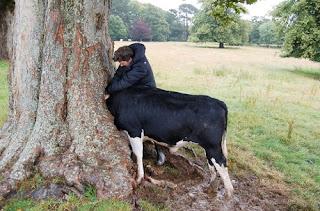 Aneh, Kepala Sapi Ini Terjebak Di Lubang Pohon