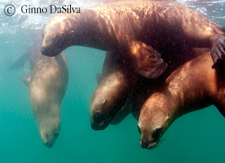 dive with sea lions in Peninsula Valdes