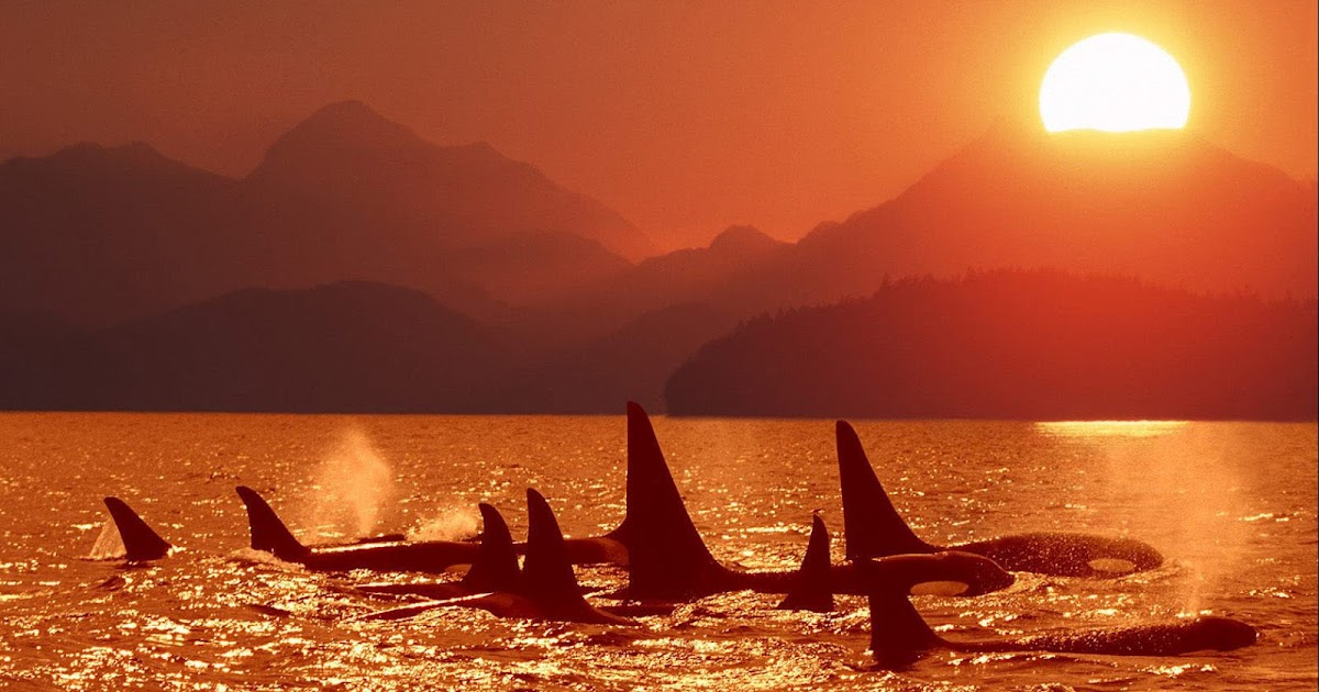 Group of orcas at sundown wallpaper trends wallpaper thecheapjerseys Images