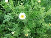 Scentless Feverfew