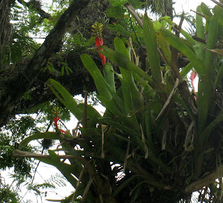Aechmea nudicaulis in Mexico