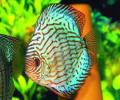 Quais as melhores espécies de peixes para se ter em aquários?
