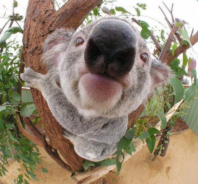 funny animals, cute koala