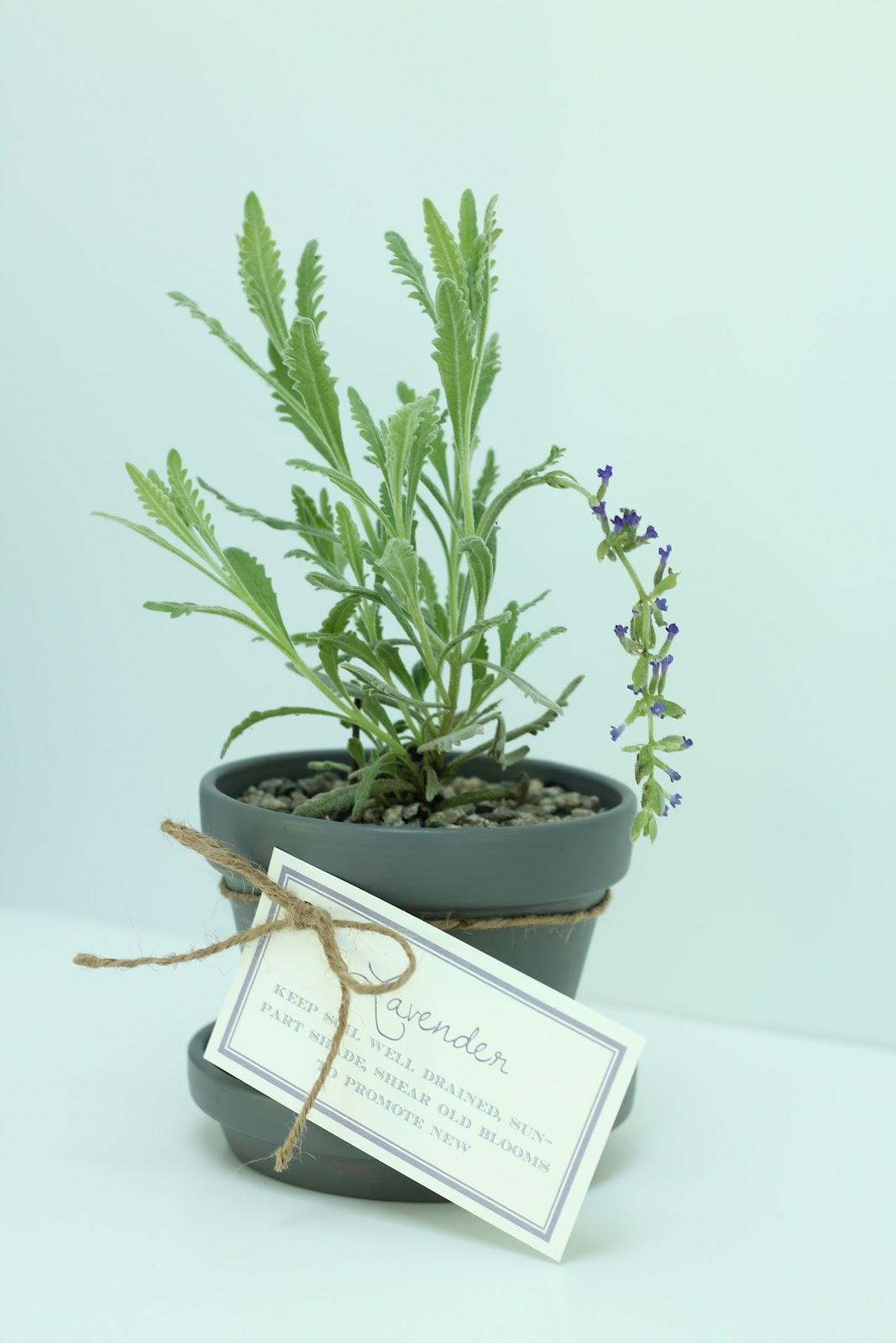 diy lavender pots julie blanner entertaining design that celebrates life. Black Bedroom Furniture Sets. Home Design Ideas