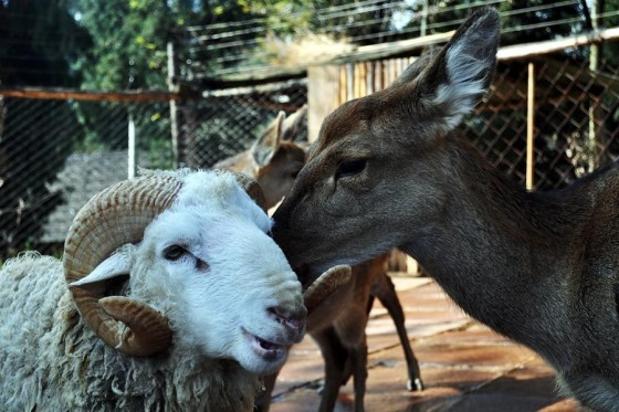 sheep loves deer