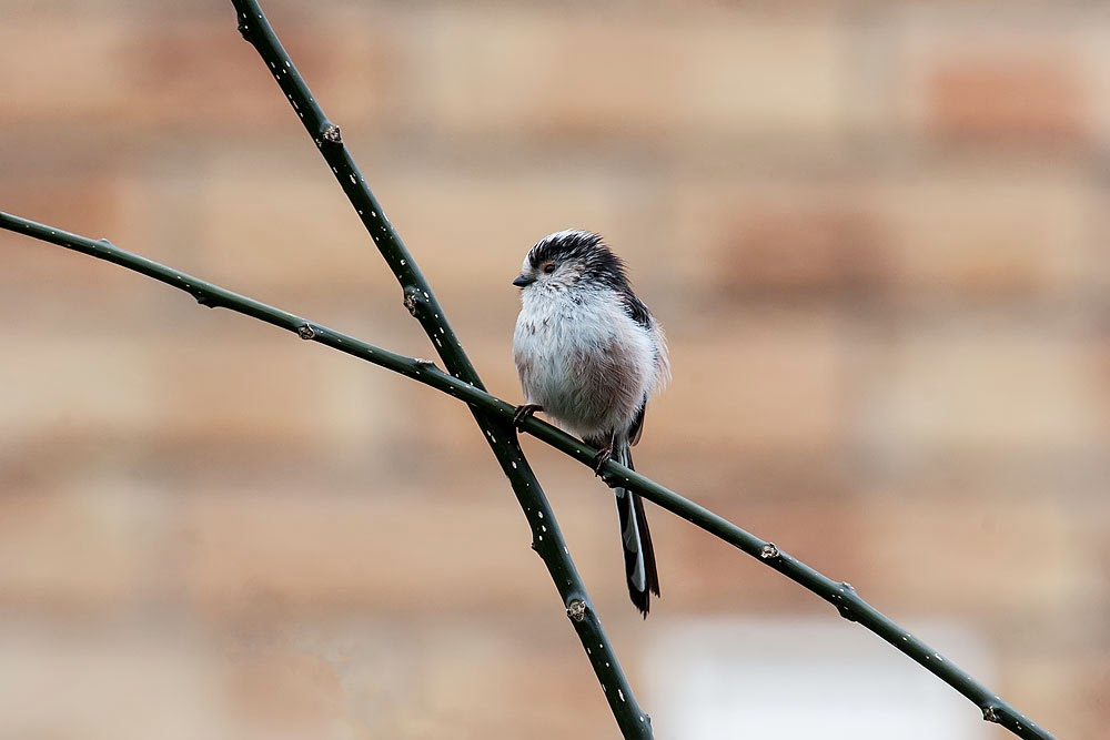 Long-Tailed Tit - Lodge Lake, Milton Keynes