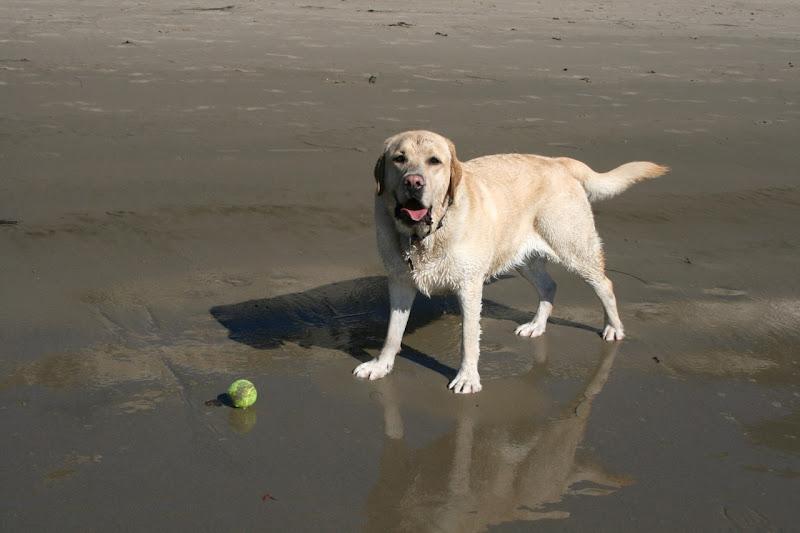 Labrador Cooper Hendrys Dog Beach
