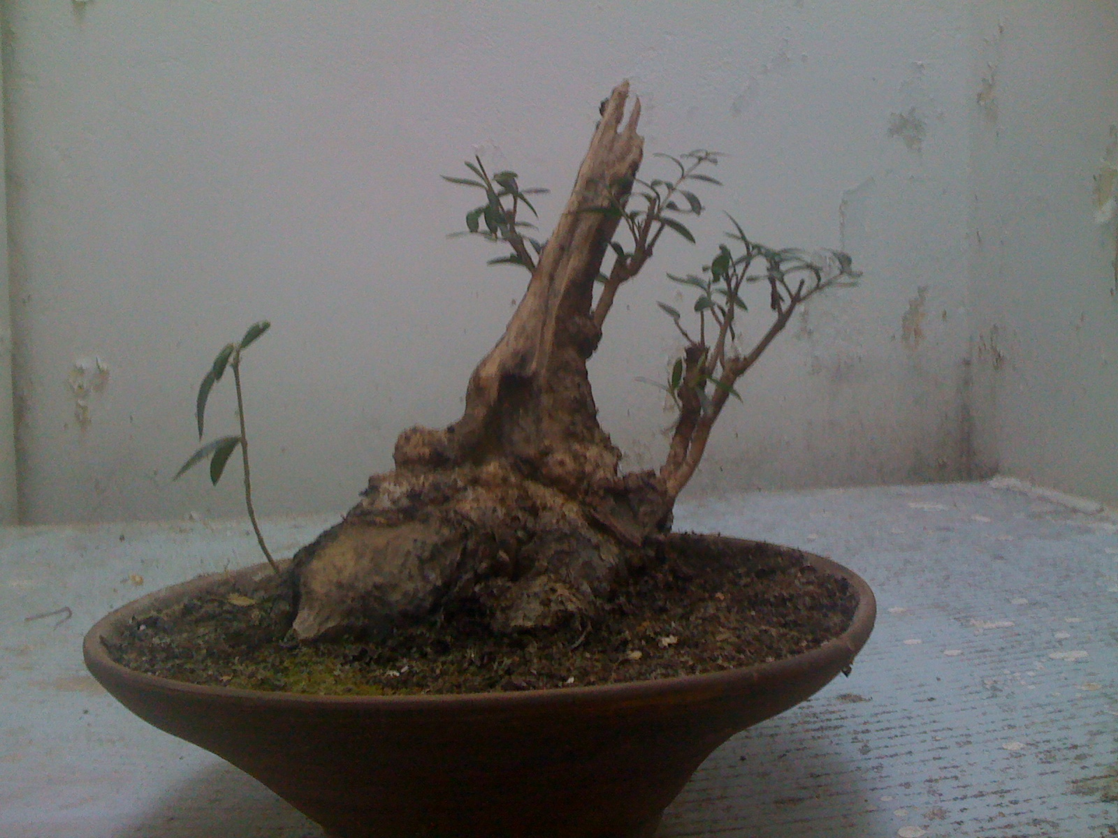 1000 Images About Bonsai On Pinterest Bonsai Trees Image