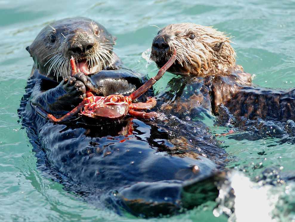 Pictures of the cutest otters eating crabs and fish for Are fish animals