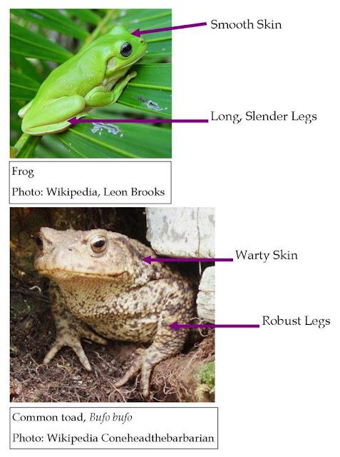 Roots N Shoots Amphibians Garden Critter Of The Month