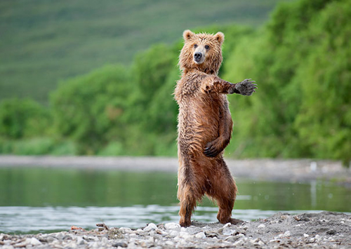 Urso dançando