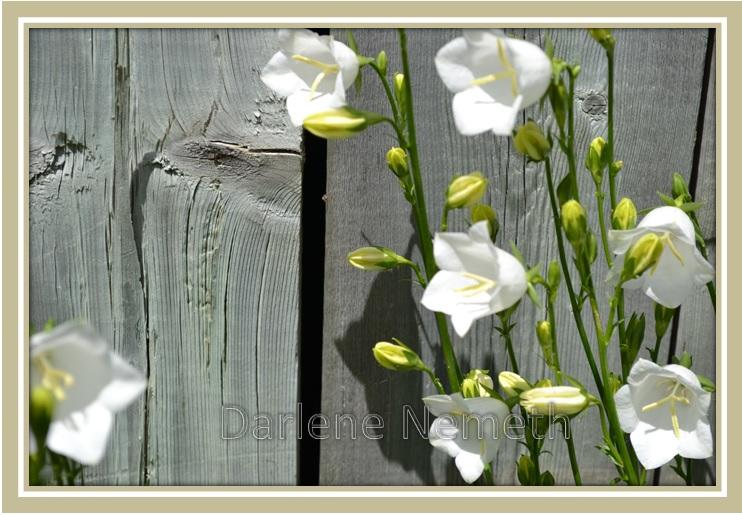 White Bellflowers