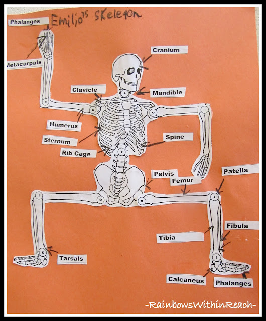 photo of: Body Skeleton with Labeled Bones (via RainbowsWithinReach)