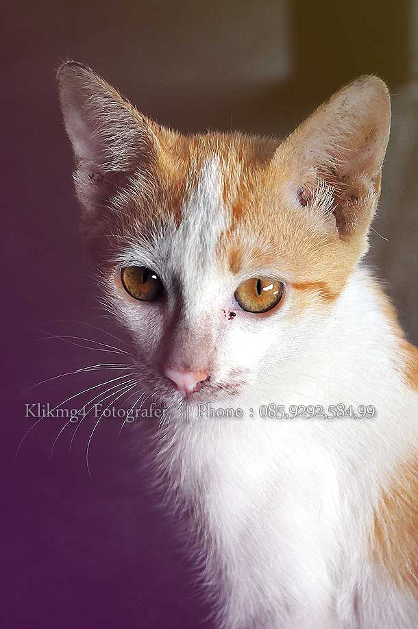 Kucing Lucu Foto Oleh : Klikmg 4 Fotografer [ Klikmg Fotografer Banyumas ]