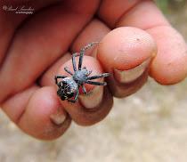 Araña -A