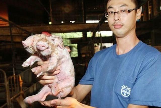 Encuentran un cerdo con dos hocicos