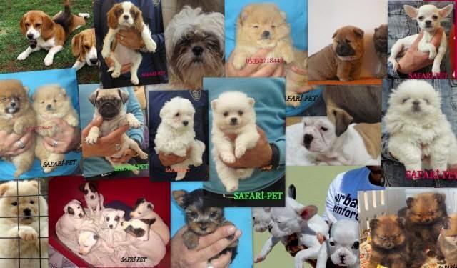 satılık yavru köpek ilanı