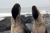 Galapagos Flightless Cormorant Couple