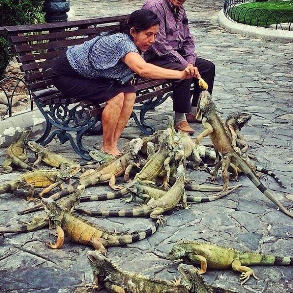 iguanas parque