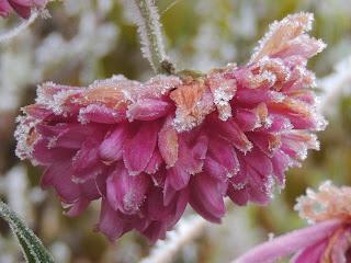 floraison automne  gel